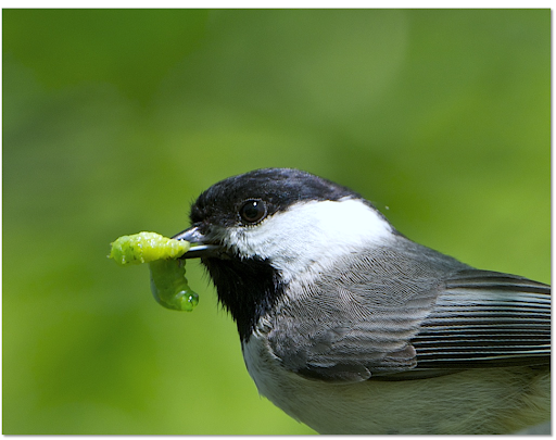 picture of a Carolina Chickadee about to enjoy a juicy caterpillar from a Smithsonian Study